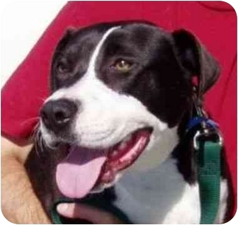 Retriever (Unknown Type)/American Pit Bull Terrier Mix Dog for adoption in Berkeley, California - Oreo