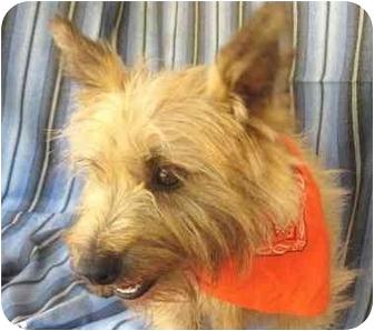 Cairn Terrier Dog for adoption in Marion, North Carolina - Oscar