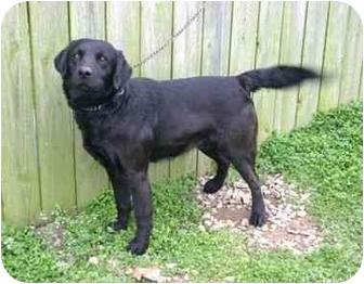 Labrador Retriever/Golden Retriever Mix Dog for adoption in Muldrow, Oklahoma - Darius