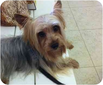 Yorkie, Yorkshire Terrier Dog for adoption in West Palm Beach, Florida - Charlie Brown