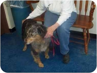 "Australian Shepherd Mix Dog for adoption in MARION, Virginia - ""Greta"""