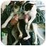 Photo 3 - Scottie, Scottish Terrier Mix Puppy for adoption in Lexington, Missouri - Bruce