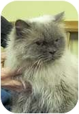 Himalayan Cat for adoption in Foster, Rhode Island - Frannie