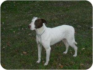 Pointer/Boxer Mix Dog for adoption in Lexington, Kentucky - Rascal