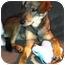Photo 2 - Shepherd (Unknown Type) Mix Puppy for adoption in Plainfield, Illinois - Bellagio