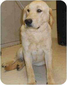 Labrador Retriever Mix Dog for adoption in Yuba City, California - Unnamed