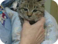 Bengal Kitten for adoption in Grasonville, Maryland - Alex
