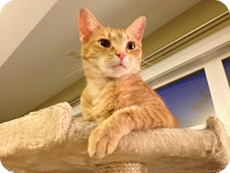 Domestic Shorthair Cat for adoption in Clarksville, Indiana - Colbie