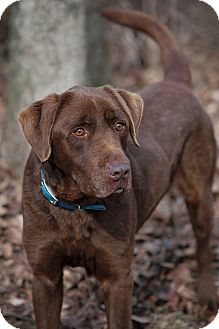 Labrador Retriever Mix Dog for adoption in Lewisville, Indiana - Forrest