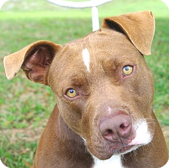 American Staffordshire Terrier Mix Dog for adoption in Daytona Beach, Florida - Randy