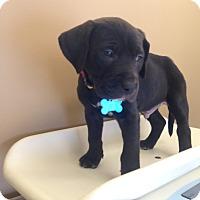 Adopt A Pet :: Bahgeera - Seattle, WA