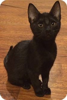 Domestic Shorthair Cat for adoption in Weatherford, Texas - Midnight