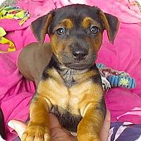 Adopt A Pet :: Little Margarita**Video* - Pasadena, CA