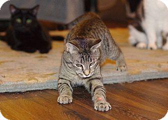 Domestic Shorthair Cat for adoption in Huntsville, Alabama - Thai