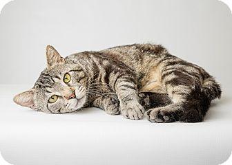 Maine Coon Cat for adoption in Hendersonville, North Carolina - De Niro