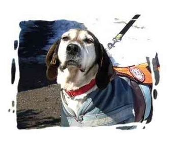 Beagle/Hound (Unknown Type) Mix Dog for adoption in Peconic, New York - Lilly