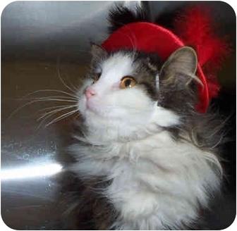 Norwegian Forest Cat Cat for adoption in Culpeper, Virginia - Jenkins