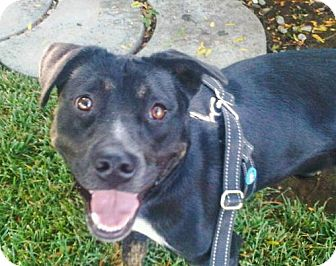 Labrador Retriever/American Pit Bull Terrier Mix Dog for adoption in Chico, California - PHOEBE