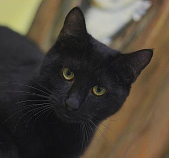 Domestic Shorthair Cat for adoption in Ocala, Florida - EUCLID
