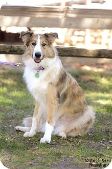 Collie Mix Dog for adoption in Allen, Texas - Pippi