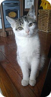Domestic Shorthair Kitten for adoption in Baltimore, Maryland - Destiny