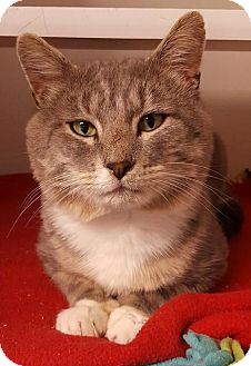 Domestic Shorthair Cat for adoption in Bellingham, Washington - Dominic