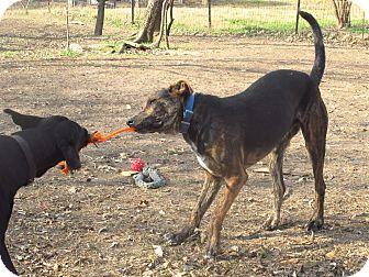 Catahoula Leopard Dog/Labrador Retriever Mix Puppy for adoption in Godley, Texas - Jones