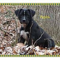 Adopt A Pet :: Pepita - Colmar, PA