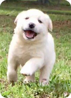Samoyed/American Eskimo Dog Mix Puppy for adoption in Toronto, Ontario - Metro