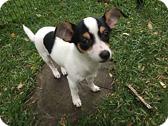 Rat Terrier Puppy for adoption in Boerne, Texas - Blossom