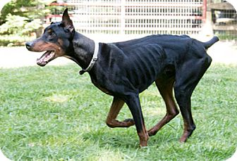 Doberman Pinscher Dog for adoption in Greensboro, North Carolina - AXTYN