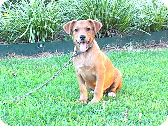 Terrier (Unknown Type, Medium) Mix Puppy for adoption in Bedminster, New Jersey - DENNY