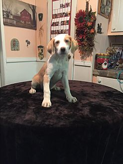 Labrador Retriever/Catahoula Leopard Dog Mix Puppy for adoption in Glastonbury, Connecticut - Carter