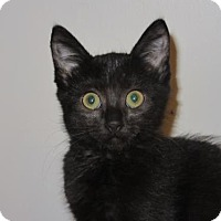 Adopt A Pet :: Kitten - Blackie - Napa, CA