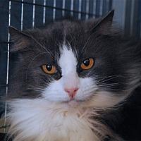 Domestic Longhair Cat for adoption in Winchendon, Massachusetts - Smokey