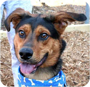 German Shepherd Dog Mix Dog for adoption in Cincinnati, Ohio - Leon