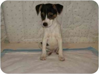 Jack Russell Terrier/Chihuahua Mix Puppy for adoption in Buffalo, New York - Junebug: 9 weeks.