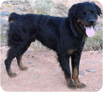 Rottweiler Dog for adoption in Hurricane, Utah - Bear