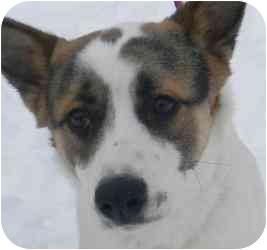 Australian Cattle Dog/Terrier (Unknown Type, Medium) Mix Dog for adoption in Kansas City, Missouri - Courtesy List-Kirby