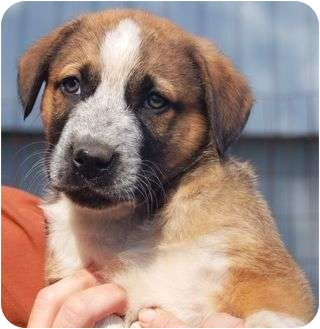 Labrador Retriever/Hound (Unknown Type) Mix Puppy for adoption in Spring Valley, New York - Bernie