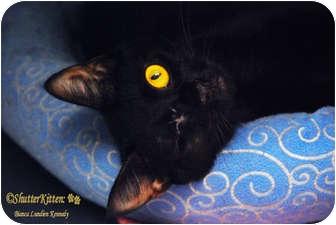 Domestic Shorthair Cat for adoption in Encinitas, California - Solange