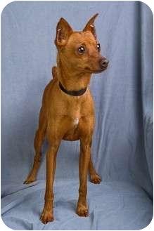 Miniature Pinscher Mix Dog for adoption in Anna, Illinois - RICO