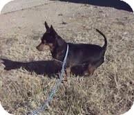 Chihuahua Dog for adoption in Midland, Texas - Apollo
