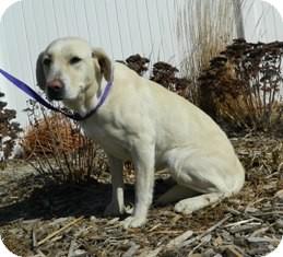 Labrador Retriever Mix Dog for adoption in Columbus, Nebraska - Shelby