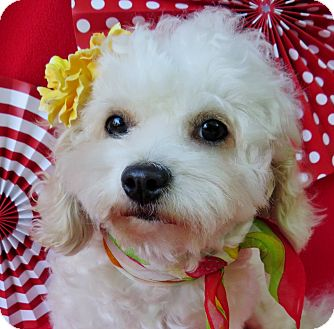 Bichon Frise/Maltese Mix Dog for adoption in Irvine, California - Patty Cake