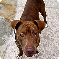 Pit Bull Terrier/Staffordshire Bull Terrier Mix Dog for adoption in Houston, Texas - Nevada