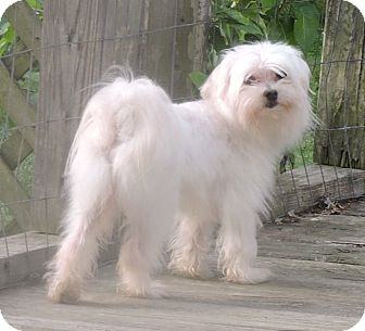 Maltese Dog for adoption in Westport, Connecticut - *Jasmine - PENDING