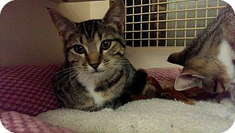 American Shorthair Kitten for adoption in Stafford, Virginia - Dalilah