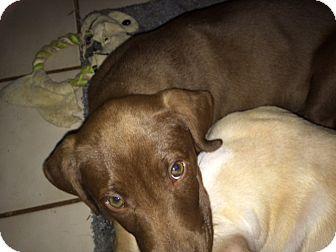 Labrador Retriever Mix Puppy for adoption in Baltimore, Maryland - Ellie