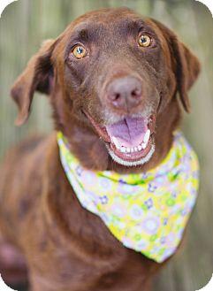 Labrador Retriever Mix Dog for adoption in Glastonbury, Connecticut - Martha